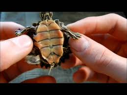 Texas Map Turtle How To Properly Care For A Black Knobbed Sawback Map Turtle Youtube
