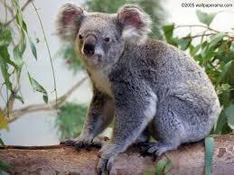 High Koala Meme - koala bear wallpaper wallpapersafari