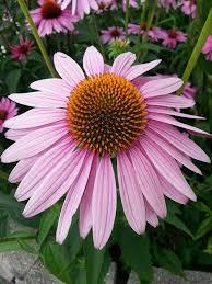 echinacea flower free photo echinacea purple coneflower free image on pixabay