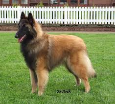belgian shepherd dog temperament 245 best tervueren mi debilidad images on pinterest belgian