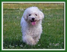 poodle vs bichon frise bichon frise poodle mix bichpoo poochon a bichon frise poodle