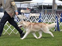 jalerran siberians jessica moore siberian husky puppies for sale