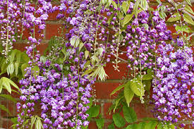 Flowering Shrubs That Like Full Sun - climbers and wall shrubs for sun rhs gardening