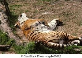 tiger laying on back h 62 the tiger panthera tigris
