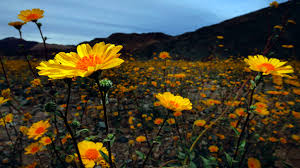 anza borrego super bloom southern california desert showered with best super bloom in 20