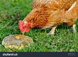 chicken pecks sunflower seeds on grass stock photo 64888945