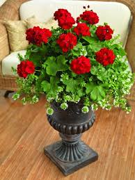 awesome looking flowers red geraniums in a black urn planter who says they need to be