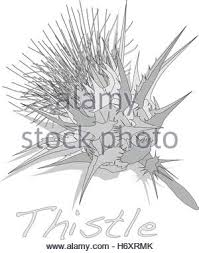 milk thistle plant scotch thistle vector isolated stock vector