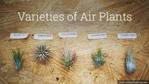 hanging air plant hanging air plants urble blog find a roommate find an