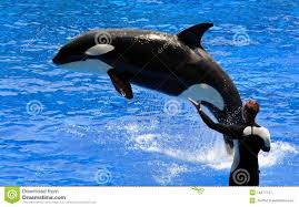 performing killer whale orca stock images image 14222314
