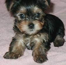haircut for morkies 12 best morkie haircuts images on pinterest hairstyles yorkie