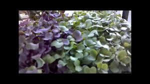 grow microgreens veggies in 7 days youtube
