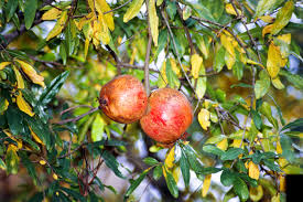 pomegranates burke s backyard
