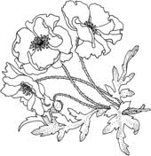poppies flower coloring page simple line drawings pinterest