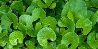 Obat Tbc tips pengobatan tbc secara herbal alami manfaat daun pegagan untuk