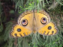 can anyone help me to get the scientific name of this butterfly