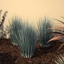 small ornamental grass low growing ornamental gres available