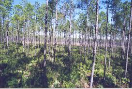Florida forest images Fertilization timber management forest management florida gif