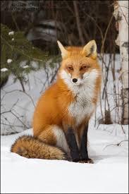 sleeping red fox wallpapers she u0027s a beauty photographer greg schneider fox vixen the fox