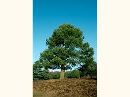 scots pine pinus sylvestris woodland trust