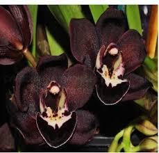 black orchid flower cymbidium kiwi midnight black orchid himalayan flower nursery