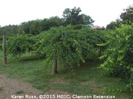Growing Grapes Trellis Hgic 1403 Muscadine Grape Extension Clemson University South