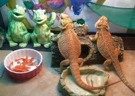 Bearded Dragon Behavior Before Shedding by Cleaning Tips Dragon Rancher