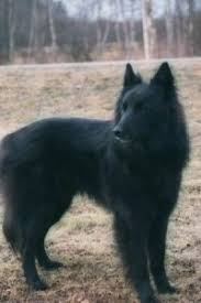 belgian sheepdog registry belgian shepherd dog breed information and pictures