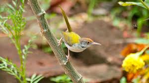 listbirds common tailorbird birds of kerala