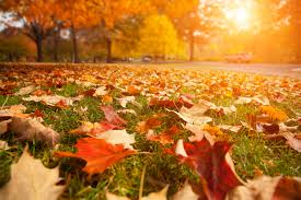 leaves change color yellow ribbon tree experts