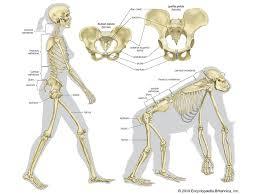 Anatomy Of Vertebral Body Vertebra Anatomy Britannica Com