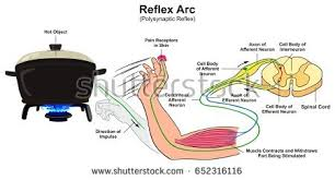 What Is A Reflex Action Example Example Stock Images Royalty Free Images U0026 Vectors Shutterstock