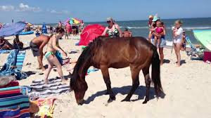 Maryland wild swimming images Assateague island maryland wild horses ponies terrorizing tourists jpg