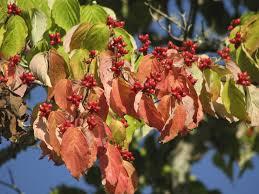 Best Fruit Trees For North Carolina - cornus florida flowering dogwood jpg