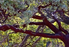 manzanita trees pinnacles manzanita tree they are evergreen shrubs or smal flickr