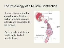 muscle contraction worksheet major muscle contractions crossword