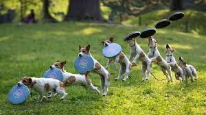 australian shepherd frisbee best frisbee dogs some of the best dogs to play frisbee with