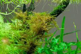 java moss turning brown uk aquatic plant society