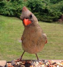 Facts About Georgia State Flag Indiana State Bird Northern Cardinal