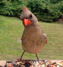 indiana state bird northern cardinal