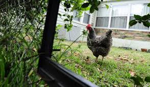 Backyard Chicken Laws by Backyard Chicken Expert Offers Advice For Novices Tbo Com