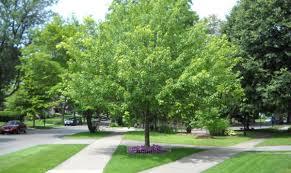 front yard tree ideas u2013 cicaki