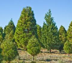 the best christmas tree lots from la to sd south orange county