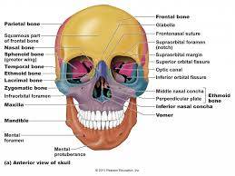 Parts Of The Face Anatomy Skull And Bones Anatomy Gallery Learn Human Anatomy Image