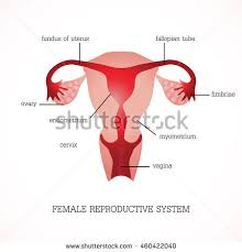 Anatomy Of Reproductive System Female Female Reproductive System Image Diagram Stock Illustration