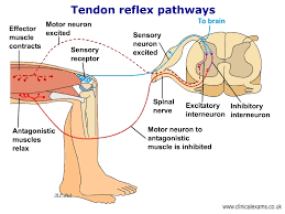 Motor Reflex Arc Tendon Reflex Arc Pathways Be Bloomsbury Educational Ltd