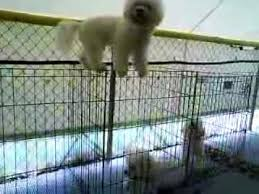 bichon frise 17 years old ruphael a 1 year old bichon frise likes to play