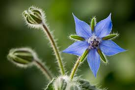 edible blue flowers not just pretty to look at try these 10 edible flowers modern farmer