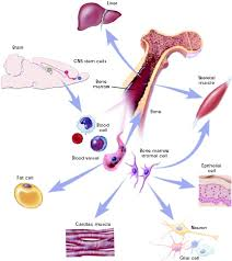 Stem cells research paper GO TO PAGE