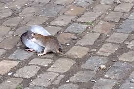 rat takes on pigeon in the ultimate urban wildlife showdown